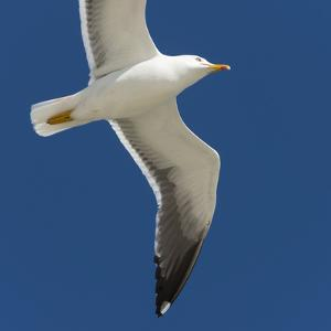 Germany, the North Sea, herring gull (Larus argentatus) in the flight. by Roland T. Frank