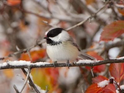 Adult Black-capped Chickadee in Snow, Grand Teton National Park, Wyoming, USA