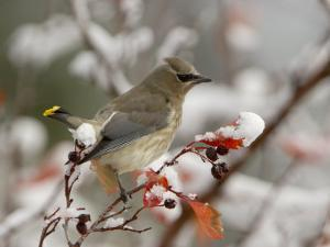 Adult Cedar Waxwing, Grand Teton National Park, Wyoming, USA by Rolf Nussbaumer