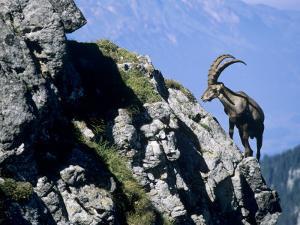 Alpine Ibex,Niederhorn, Interlaken, Switzerland by Rolf Nussbaumer