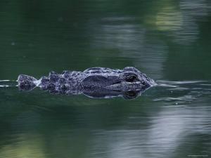 American Alligator Submerged, Sanibel Is, Florida, USA by Rolf Nussbaumer