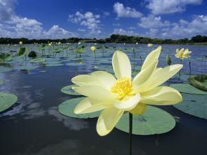 American Lotus, Welder Wildlife Refuge, Rockport, Texas, USA by Rolf Nussbaumer