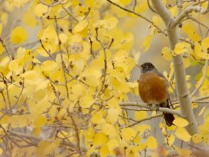 American Robin, Male in Aspen Tree, Grand Teton National Park, Wyoming, USA by Rolf Nussbaumer