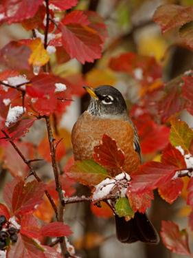 American Robin, Male in Black Hawthorn, Grand Teton National Park, Wyoming, USA by Rolf Nussbaumer