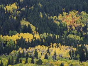 Aspen Trees, Endovalley, Rocky Mountain National Park, Colorado, USA by Rolf Nussbaumer
