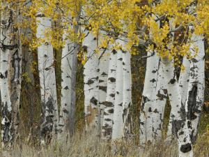 Aspen Trees in Autumn, Grand Teton National Park, Wyoming, USA by Rolf Nussbaumer