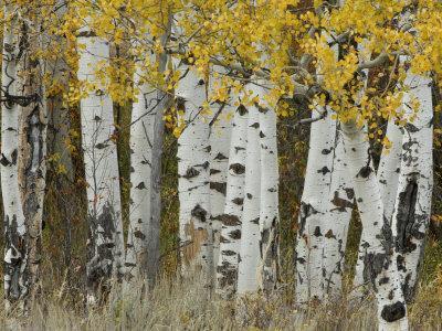 Aspen Trees in Autumn, Grand Teton National Park, Wyoming, USA