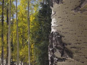 Aspen Trees in Fall, Uncompahgre National Forest, Colorado, USA by Rolf Nussbaumer