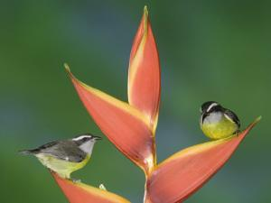 Bananaquit Two Adults on Heliconia Plant, Costa Rica by Rolf Nussbaumer