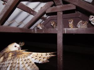 Barn Owl Adult Bringing Mouse Prey to Young in Nest, Rio Grande Valley, Texas, USA by Rolf Nussbaumer