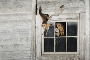 Barn Owl (Tyto Alba) by Rolf Nussbaumer