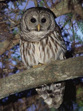 Barred Owl in Tree, Corkscrew Swamp Sanctuary Florida USA by Rolf Nussbaumer