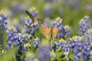 Black-chinned Hummingbird female feeding, Hill Country, Texas, USA by Rolf Nussbaumer