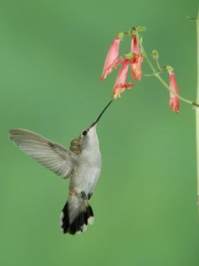 Black Chinned Hummingbird, Female Feeding on Penstemon Flower, Arizona, USA by Rolf Nussbaumer