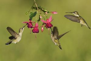 Black-chinned Hummingbird females feeding, Hill Country, Texas, USA by Rolf Nussbaumer