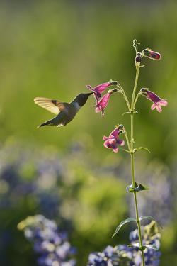 Black-chinned Hummingbird male feeding, Hill Country, Texas, USA by Rolf Nussbaumer