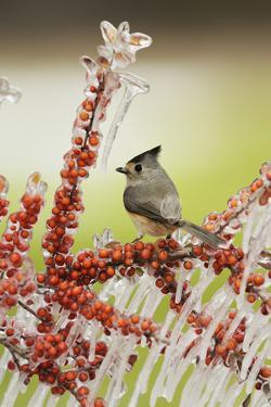 Black-crested Titmouse perched on icy branch of Yaupon Holly with berries, Hill Country, Texas, USA by Rolf Nussbaumer