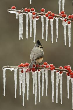 Black-crested Titmouse perched on icy Possum Haw Holly, Hill Country, Texas, USA by Rolf Nussbaumer