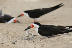 Black Skimmer with young, Port Isabel, Laguna Madre, Texas, USA by Rolf Nussbaumer