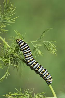 Black Swallowtail caterpillar eating on fennel, Hill Country, Texas, USA by Rolf Nussbaumer