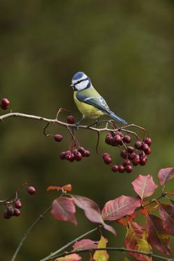 Blue Tit perched on berry laden branch of European cranberry bush, Oberaegeri, Switzerland by Rolf Nussbaumer