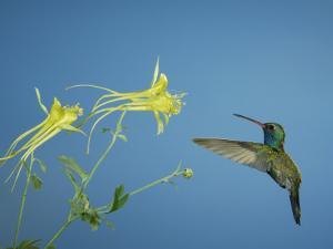 Broad Billed Hummingbird, Male Feeding on Longspur Columbine Flower, Arizona, USA by Rolf Nussbaumer