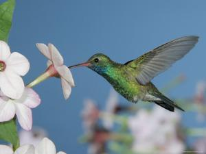 Broad Billed Hummingbird, Male Feeding on Nicotiana Flower, Arizona, USA by Rolf Nussbaumer