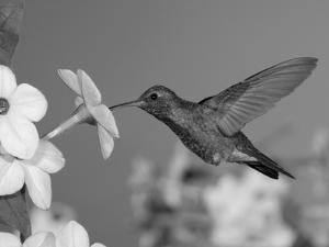 Broad Billed Hummingbird, Male Feeding on Nicotiana Flower, Arizona, USA by Rolf Nussbaumer