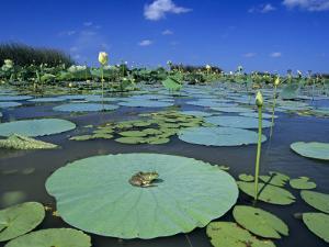 Bullfrog, Adult on American Lotus Lilypad, Welder Wildlife Refuge, Sinton, Texas, USA by Rolf Nussbaumer