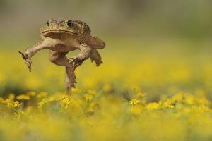 Cane Toad - Marine Toad - Giant Toad (Bufo Marinus) Adult Jumping by Rolf Nussbaumer