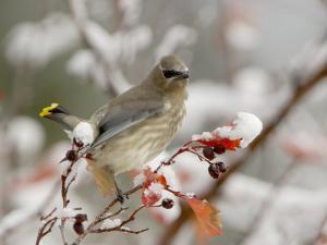 Cedar Waxwing, Young on Hawthorn with Snow, Grand Teton National Park, Wyoming, USA by Rolf Nussbaumer