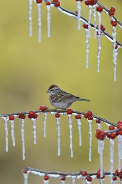 Chipping Sparrow perched on icy branch of Possum Haw Holly with berries, Hill Country, Texas, USA by Rolf Nussbaumer