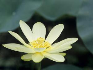 Close-Up of American Lotus Flower, Welder Wildlife Refuge, Rockport, Texas, USA by Rolf Nussbaumer