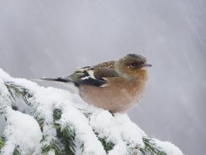 Common Chaffinch Adult on Spruce Branch in Snow, Switzerland, December by Rolf Nussbaumer