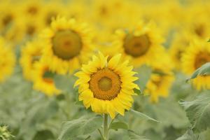 Common Sunflower, Helianthus annuus, field in bloom, Texas, USA by Rolf Nussbaumer