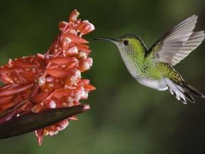 Coppery-Headed Emerald in Flight, Central Valley, Costa Rica by Rolf Nussbaumer
