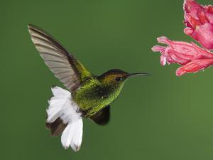 Coppery-Headed Emerald in Flight Feeding on Shrimp Plant, Central Valley, Costa Rica by Rolf Nussbaumer