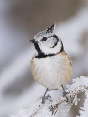 Crested Tit Adult on Frozen Branch in Winter, Minus 15 Celsius, Switzerland by Rolf Nussbaumer