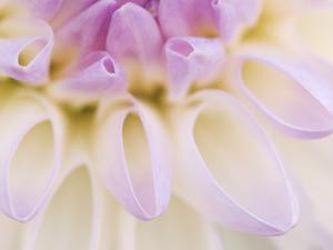 Dahlia Blooming, Oberaegeri, Switzerland by Rolf Nussbaumer