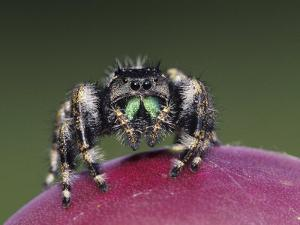 Daring Jumping Spider Adult on Fruit of Texas Prickly Pear Cactus Rio Grande Valley, Texas, USA by Rolf Nussbaumer