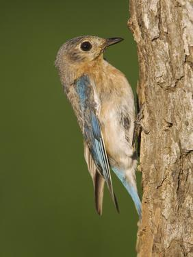 Eastern Bluebird at Nesting Cavity, Willacy County, Rio Grande Valley, Texas, USA by Rolf Nussbaumer