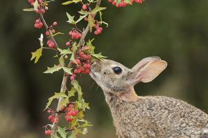 Eastern Cottontail eating Agarita berries, South Texas, USA by Rolf Nussbaumer