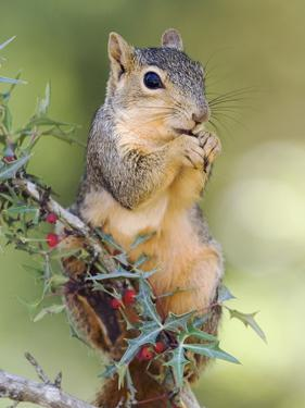 Eastern Fox Squirrel Eating Berries, Uvalde County, Hill Country, Texas, USA by Rolf Nussbaumer