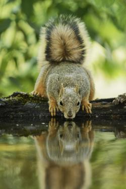 Eastern Fox Squirrel, Sciurus Niger, drinking, Hill Country, Texas, USA by Rolf Nussbaumer