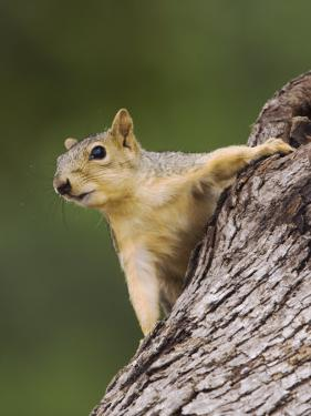 Eastern Fox Squirrel, Uvalde County, Hill Country, Texas, USA by Rolf Nussbaumer