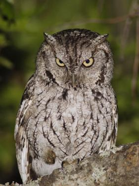 Eastern Screech-Owl Adult at Night, Texas, Usa, April 2006 by Rolf Nussbaumer
