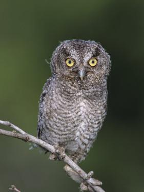 Eastern Screech-Owl Young Fledgling, Willacy County, Rio Grande Valley, Texas, USA by Rolf Nussbaumer
