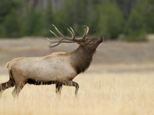 Elk, Bull Bugling in Rut, Yellowstone National Park, Wyoming, USA by Rolf Nussbaumer