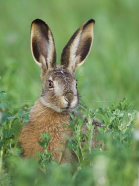 European Brown Hare Juvenile in Field, Lake Neusiedl, Austria by Rolf Nussbaumer