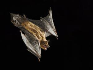 Evening Bat Flying at Night, Rio Grande Valley, Texas, USA by Rolf Nussbaumer